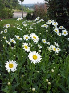 when we as plantsmen use words like tough and hardy plants like the montauk daisy come to mind the daisy is one of the last perennials to bloom in the - Montauk Daisy