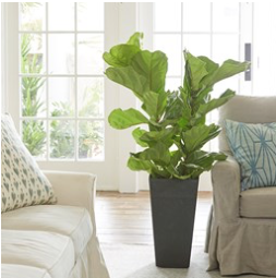 unbelievable house plant with green and pink leaves. Darlene Pastet Greenhouse Manager fiddle leaf Plant Matters Van Wilgen s  Garden Center Unbelievable House With Green And Pink Leaves Home Design Plan The Best 100