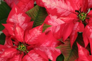 poinsettia detail sm